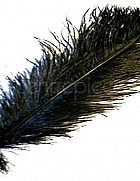 Ostrich Feather Black Large